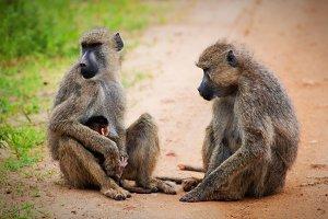Baboon monkeys - parents & baby
