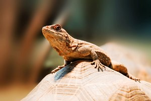 Lizard sitting on turtle carapace