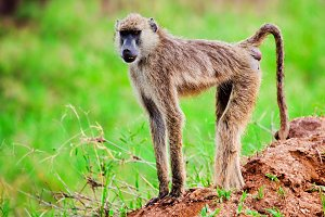 Baboon monkey in African bush