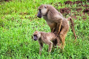 Baboon monkeys during copulation