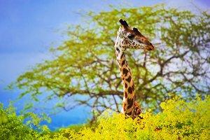Giraffe 's head, Tsavo West, Africa
