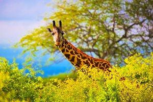 Giraffe's head, Tsavo West, Africa