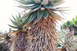 desert agave cactus tree