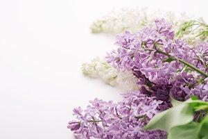 Flowering branch lilac