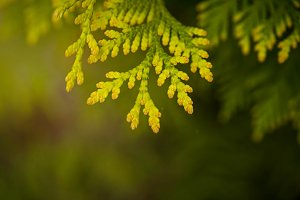 Green macro thuja branch background