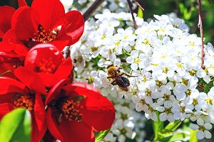 Bee on flowers of spiraea cinerea