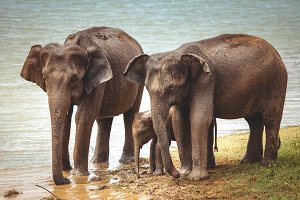 Elephant family is drinking water from the river.