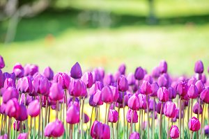 Field of many lilac tulips