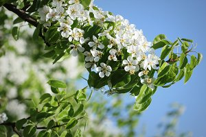 Beautiful branch pear tree blossoms
