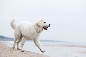 Cute white dog walking on the beach