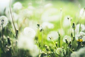 Summer dandelion  nature