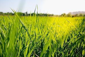 Tall green grass in summer field