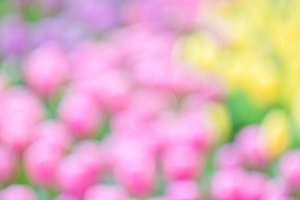 Bokeh of colorful tulip