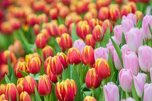 Fresh colorful tulip