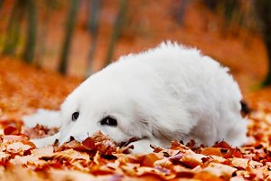 Puppy dog lying in leaves in autumn