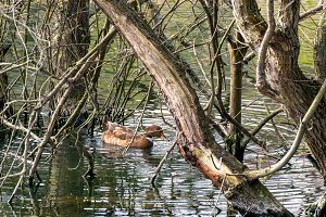 Duck swimming among trees