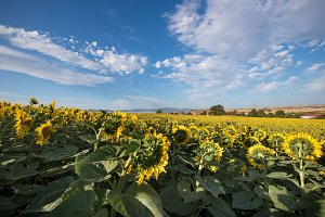 field of sunflowers on a sunny day.