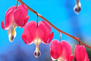 Lyre flower & background of blue sky