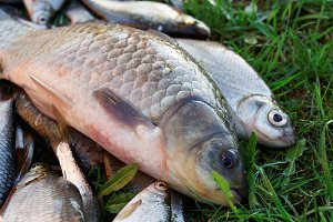 Crucian carp and other fish on grass