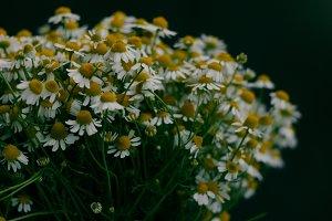 White daisy chamomile.