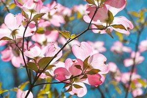 Dogwood tree blossom at springtime
