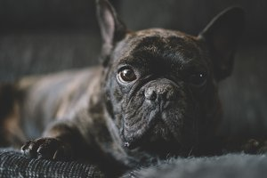 Dog French bulldog colored black