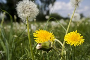 Lot of dandelions close-up on nature