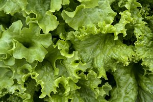 fresh green oak lettuce with water d
