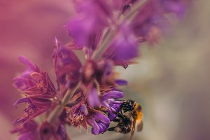 Bumble Bee and Sage