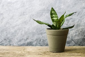 Snake plant in pot on old wood