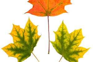 Maple autumn leaf on a white background