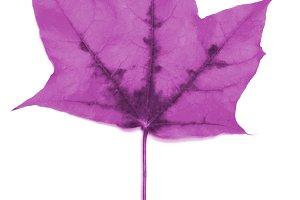 Maple autumn leaf on a white background