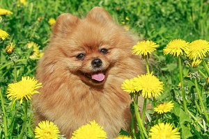 Dog breed Pomeranian walks
