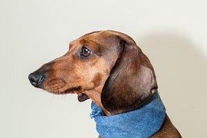 Red dachshund dog