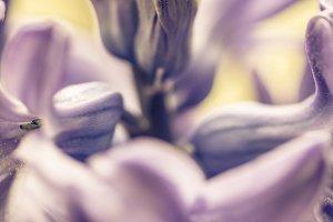 Pink hyacinth flower macro detail