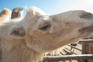 Closeup portrait of the white camel