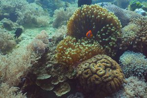 Clownfish Anemonefish in actinia.