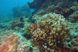 Clownfish Anemonefish in actinia.