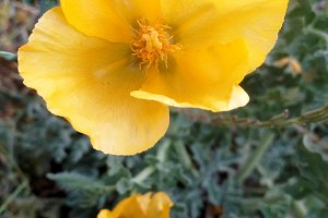 Yellow mediterranean poppy