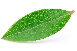 Blueberry leaf isolated