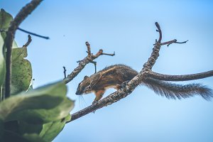 Tropical squirrel. Bali island.