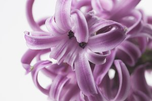 Hyacinth flowers close up