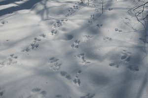 Red squirrel trace on snow