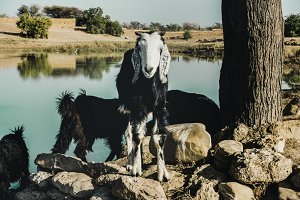 Goat farming in Rajasthan, India