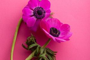 Purple anemone on vivid pink background