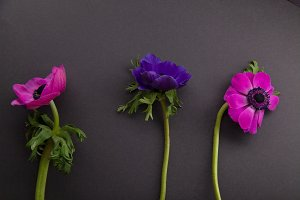 Purple and pink anemones