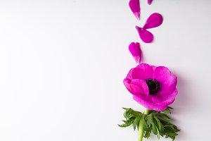 Purple anemone on white background