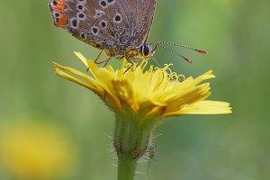 Lepidoptera Lasiommata megera