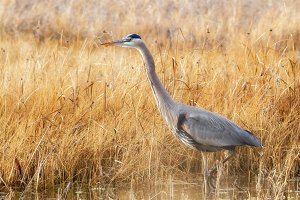 Great Blue Heron in afternoon light