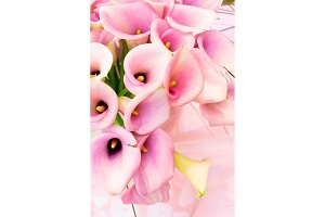 Pink calla lilly